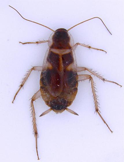 female - Supella longipalpa - female