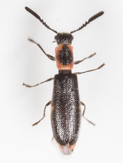Beetle - Monophylla terminata - female