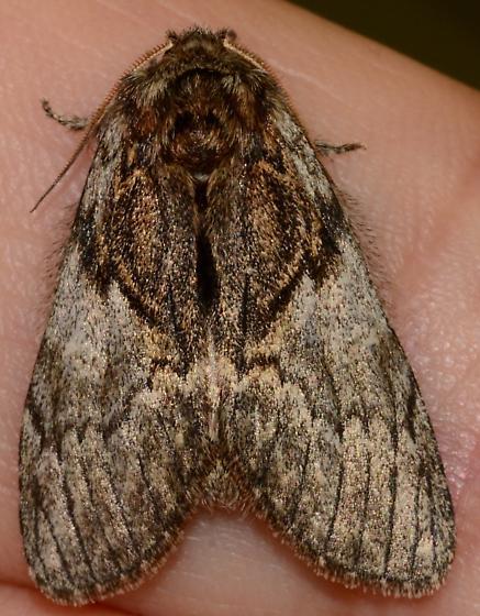 Owlet moth? - Peridea basitriens