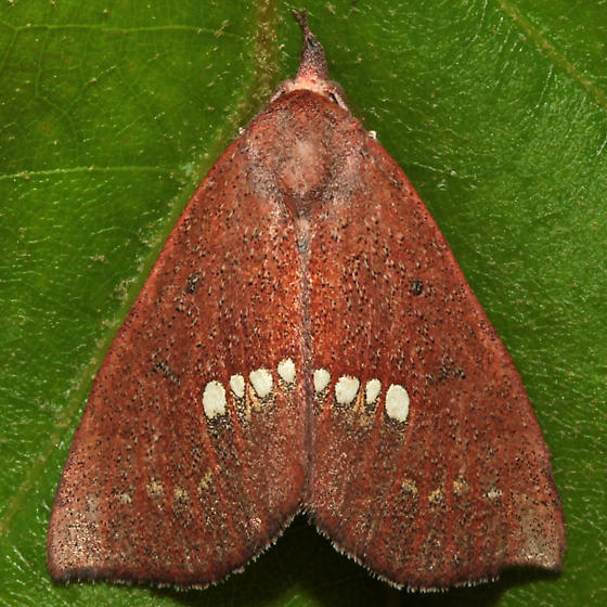 Hypsoropha monilis