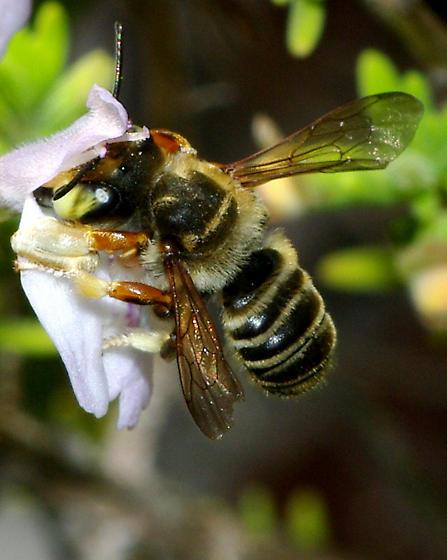 White footed bee - Megachile albitarsis - male