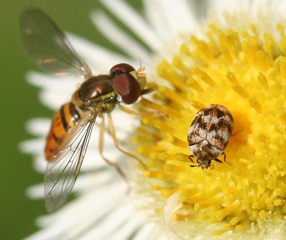 Anthrenus and Toxomerus marginatus? - Anthrenus verbasci