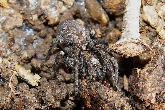 Dark Wolf Spider - Gladicosa pulchra