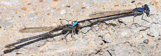 Blue-fronted dancers? - Argia apicalis - male - female