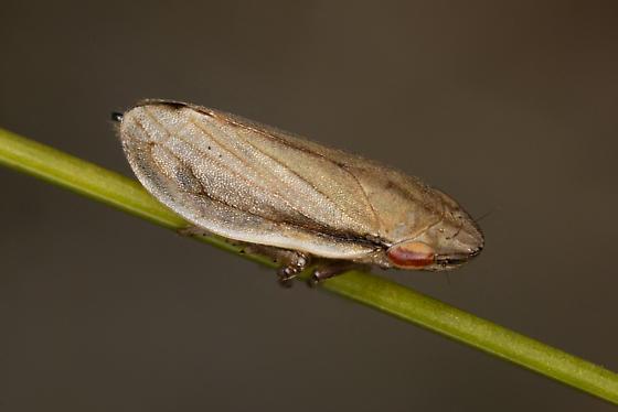 Neophilaenus lineatus - female