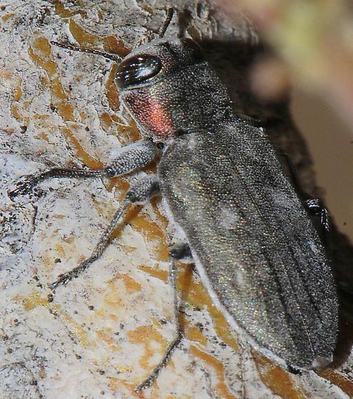 Chrysobothris merkelii ? - Chrysobothris lateralis