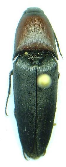 Parallelostethus attenuatus
