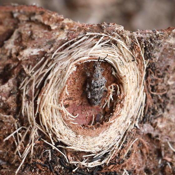 Nested beetle under pine bark - Rhagium inquisitor