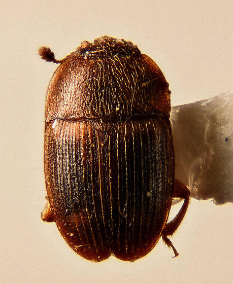 Nitidulid - Sap Beetle - Stelidota coenosa