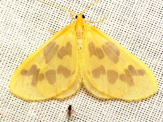Eubaphe meridiana 7440?  - Eubaphe mendica