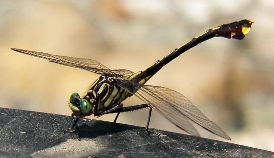 Backyard dragonfly ID - Gomphurus vastus