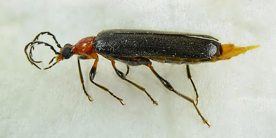 Pyrochroid of sorts? - Dendroides picipes - female