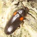 Red-shouldered beetle - Mycetochara binotata