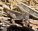 unkn grasshopper - Arphia behrensi - female