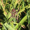 Spider in the morning - Argiope