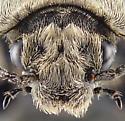 Beetle - Thanatophilus lapponicus