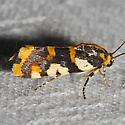 Southern Spragueia Moth - Hodges#9122 - Spragueia dama