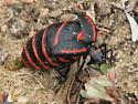 Blister Beetle - Megetra vittata - female