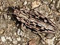 Western Sculptured Pine Borer - Chalcophora angulicollis
