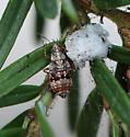 True Bug - Deraeocoris