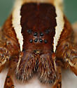 fishing spider??? - Pisaurina brevipes - female