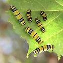 Caterpillar ID? - Harrisina metallica