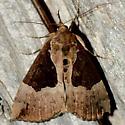 Dimorphic Hypena - Hypena bijugalis