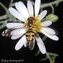 Hover Fly - Toxomerus geminatus
