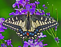 Swallowtail Butterfly 439A 7231 - Papilio zelicaon