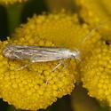 Moth IMG_2802 - Isophrictis striatella