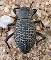 Arizona Beetle - Cryptoglossa variolosa