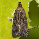 Twirler Moth - Dichomeris leuconotella