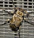Sternidius