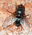 Fly - Calliphora coloradensis - male