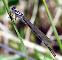 unknown damselfly - Enallagma carunculatum - male