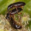 Beetles IMG_6590 - Ophonus puncticeps - male - female