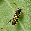 Leaf Beetle - Clytus ruricola