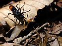 Spider Wasp w/ prey - Entypus unifasciatus? - Entypus unifasciatus