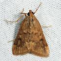 Garden Webworm Moth - Achyra rantalis
