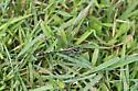 Pronghorn Clubtail - Phanogomphus graslinellus