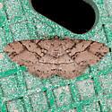 Canadian Melanolophia Moth - Melanolophia canadaria
