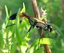 Ammophila? - Ammophila pictipennis