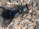 Dark Blue Fly - Calliphora vomitoria