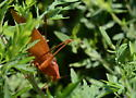 Orange katydid - Amblycorypha - male