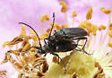 Small Cerambycid - Grammoptera - male - female
