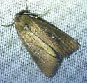 Condica videns - White-dotted Groundling - Condica videns