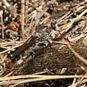 Large Robber Fly - Stenopogon inquinatus - male