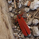 What's red and walks on logs? - Dictyoptera simplicipes