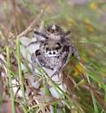 Does this jumping spider belong to the Genus Eris? - Phidippus texanus - female