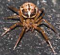 Spider on Compost Lid - Enoplognatha marmorata